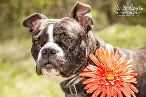 Iona~ American Boston Terrier Rescue