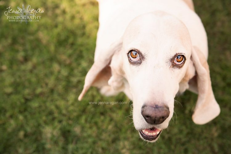 basset hound looking up at pet photographer with camera