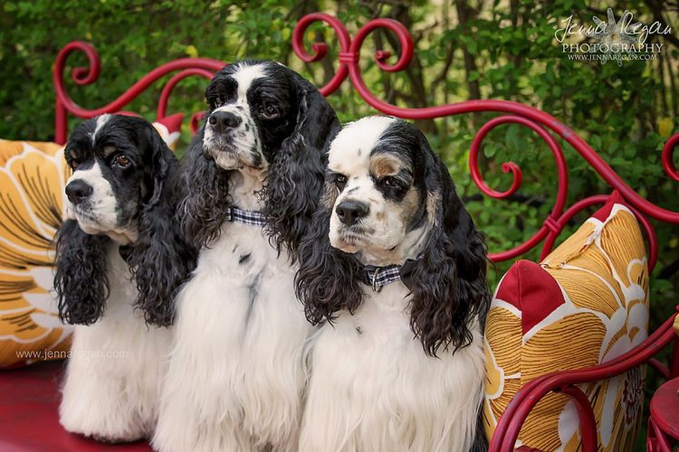 mckinney pet photo shoot of three cocker spaniels by jenna regan