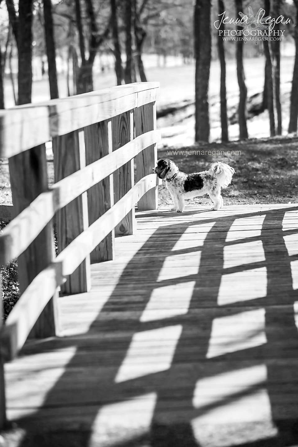 black and white dog maltipoo on bridge in mckinney texas