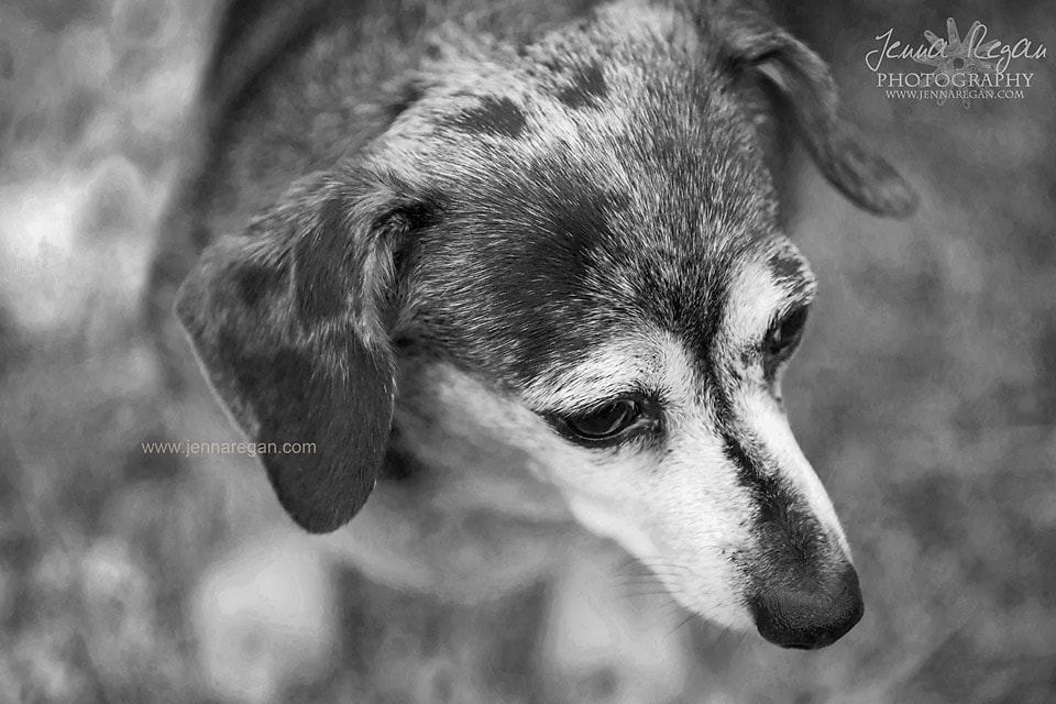 black and white dog photography dacshund photo shoot dfw