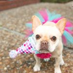 french bulldog photographed for her birthday in dallas texas