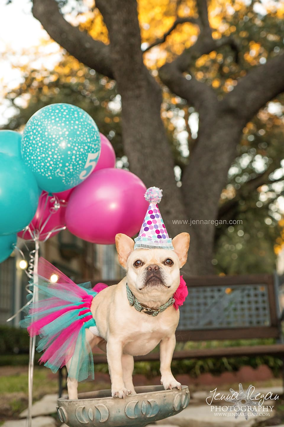 french bulldog celebrating birthday dallas texas