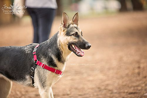 beautiful german shepherd at mutts dog park in dallas