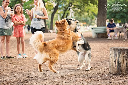 golden retriever and german shepherd playing at dog park in dallas texas