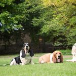 multiple basset hound dogs photographed together