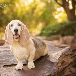 basset hound rescue calendar photography
