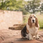 senior basset hound photographed for ntbhr calendar