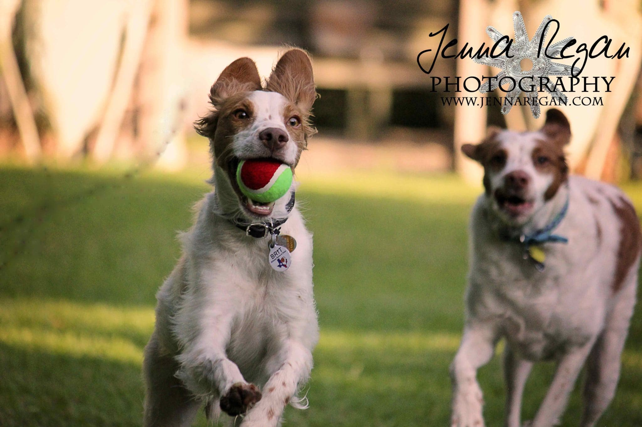brittany spaniel action photography
