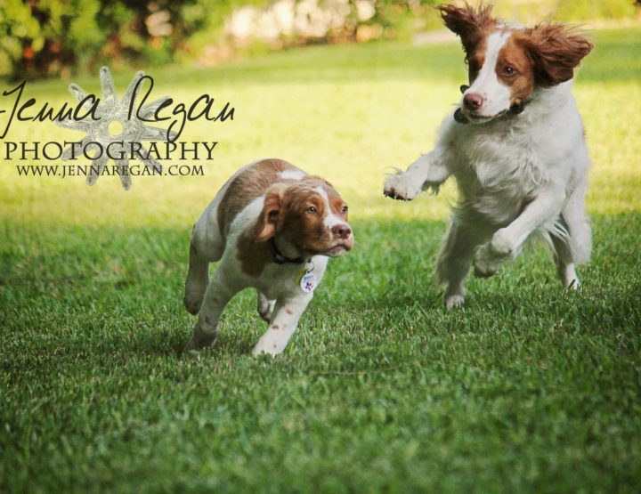 DFW Brittany Spaniel Event Pet Photography