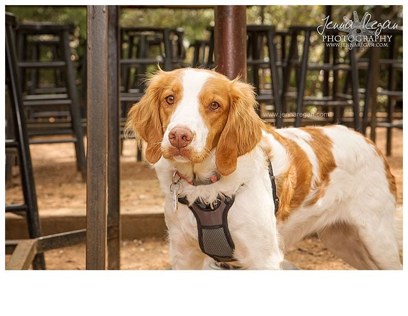 jenna-regan-photography-brittany-rescue-in-texas-foster-dog4