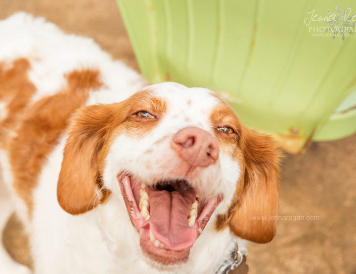Brittany Rescue in Texas Event | Dog Photography | Plano, TX