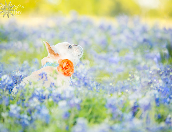 Texas Bluebonnet Dog Photography | Dallas, TX