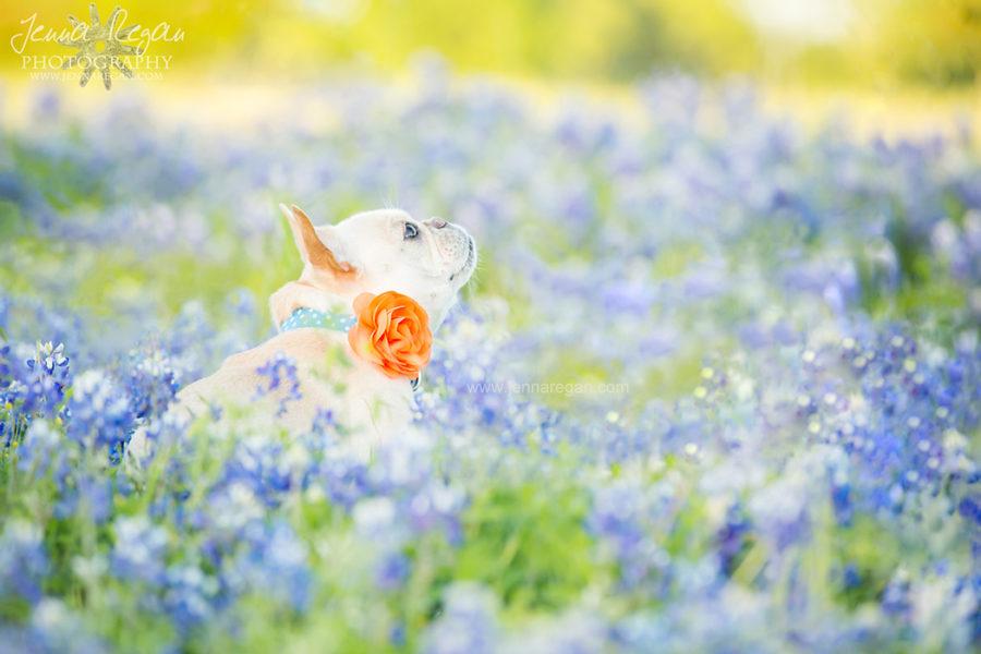 Texas Bluebonnet Dog Photography | Dallas, TX