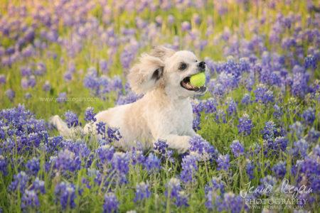 bluebonnet-pet-photo-shoot