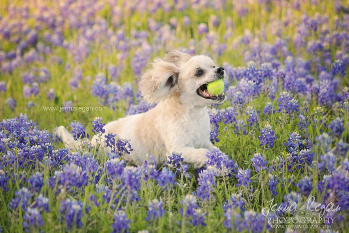 bluebonnet-pet-photo-shoot
