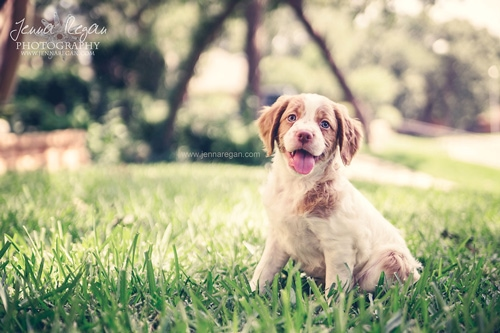 Brittany Puppy Photography | Arlington, TX