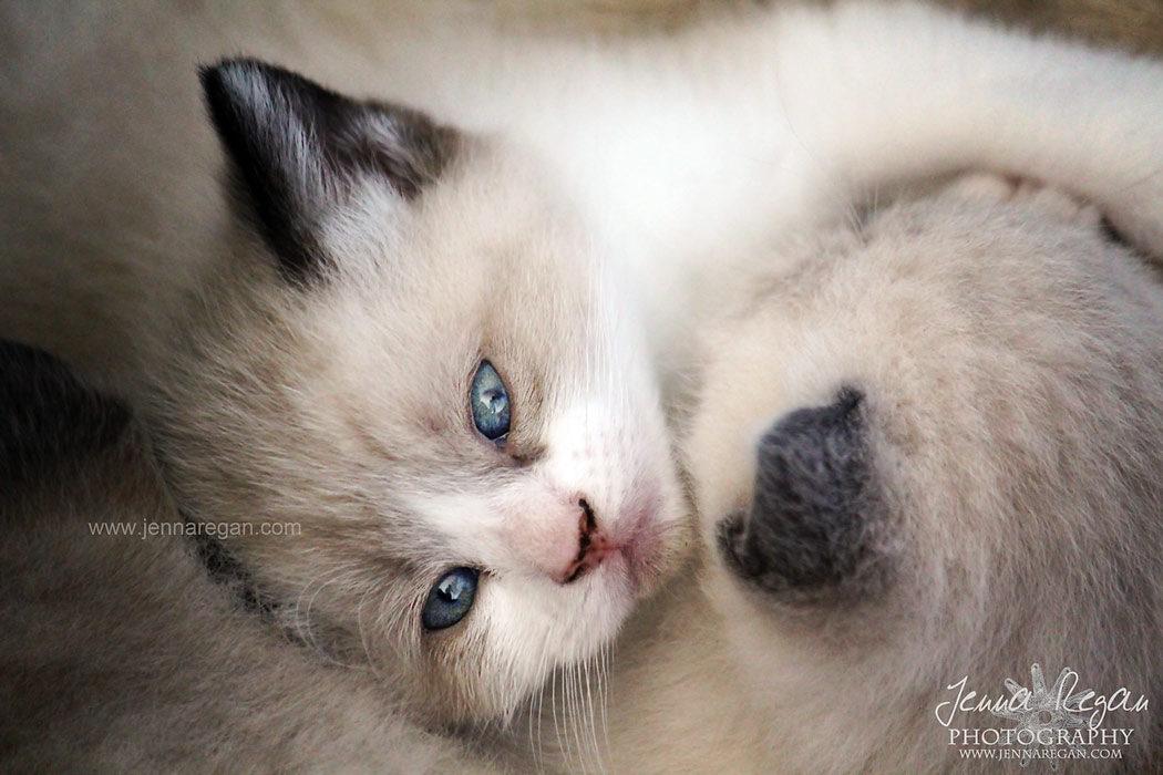 dallas kitten photographer