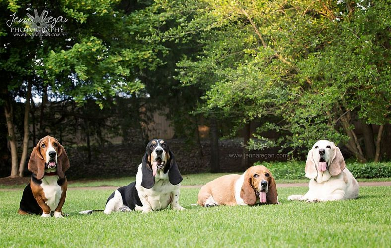 group of four basset hounds photographed by dallas pet photographer jenna regan