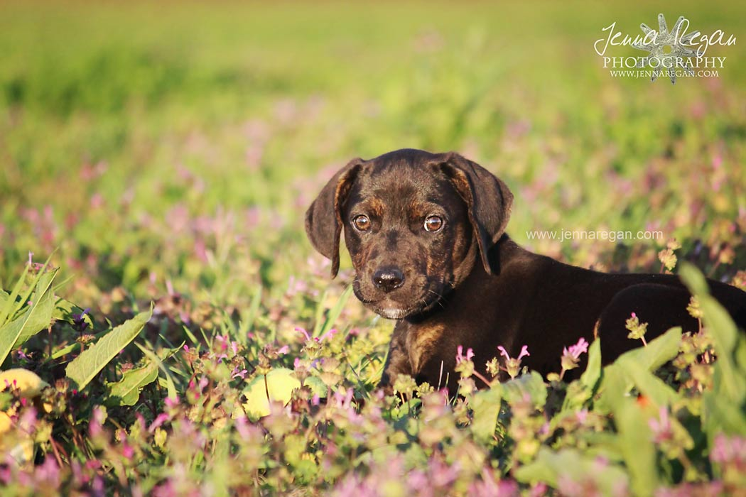 mckinney texas puppy photographer