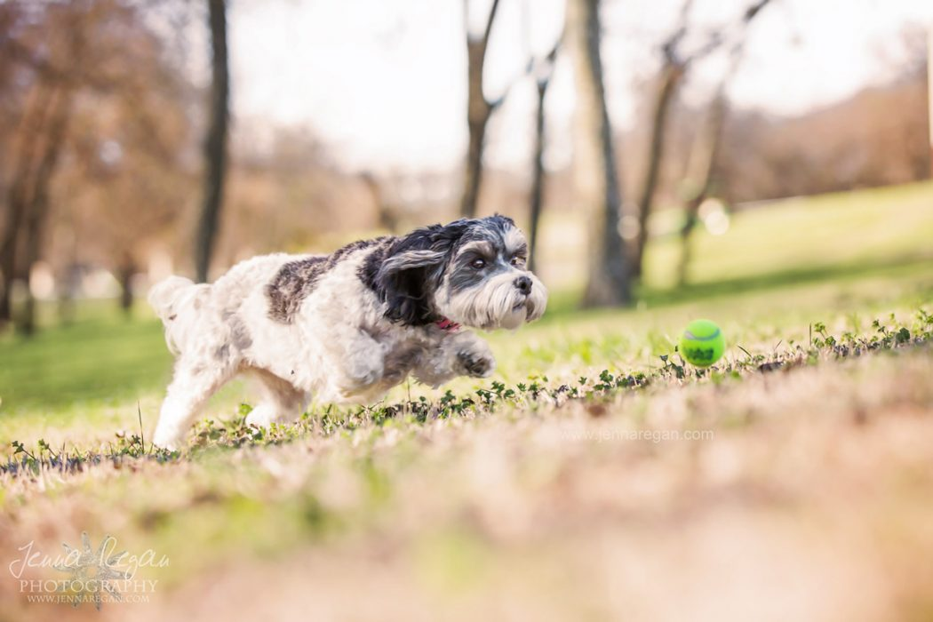small maltipoo running after tennis ball at park in mckinney texas during pet photography photo shoot