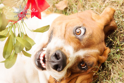 Holiday Pet Photography Mini Sessions | McKinney, TX