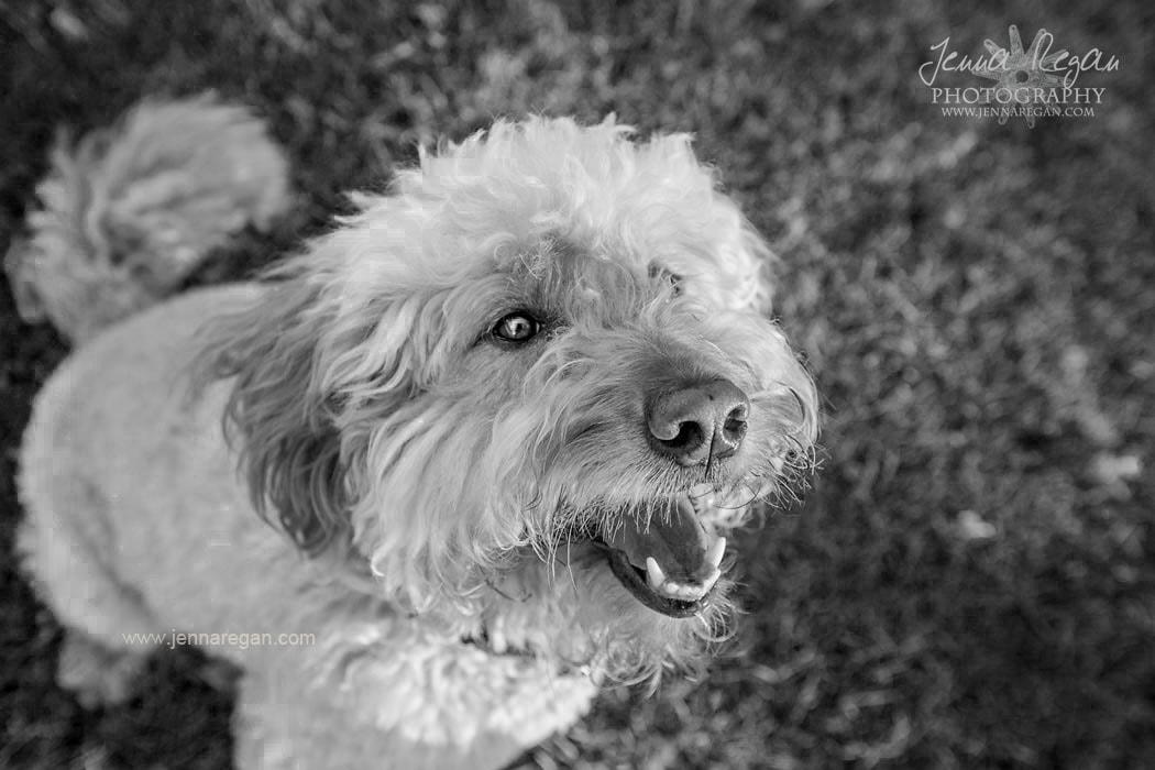 black and white photo dfo goldendoodle mckinney texas