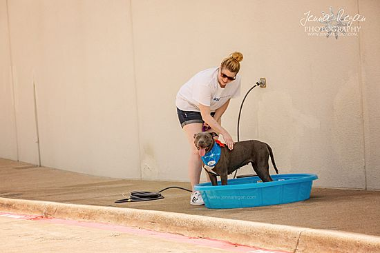 pitbull cooling off in dog pool at dog event