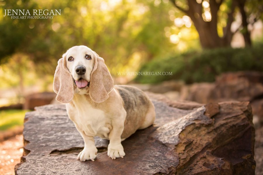 Belle | The Cover Girl | North TX Basset Hound Rescue Calendar Project
