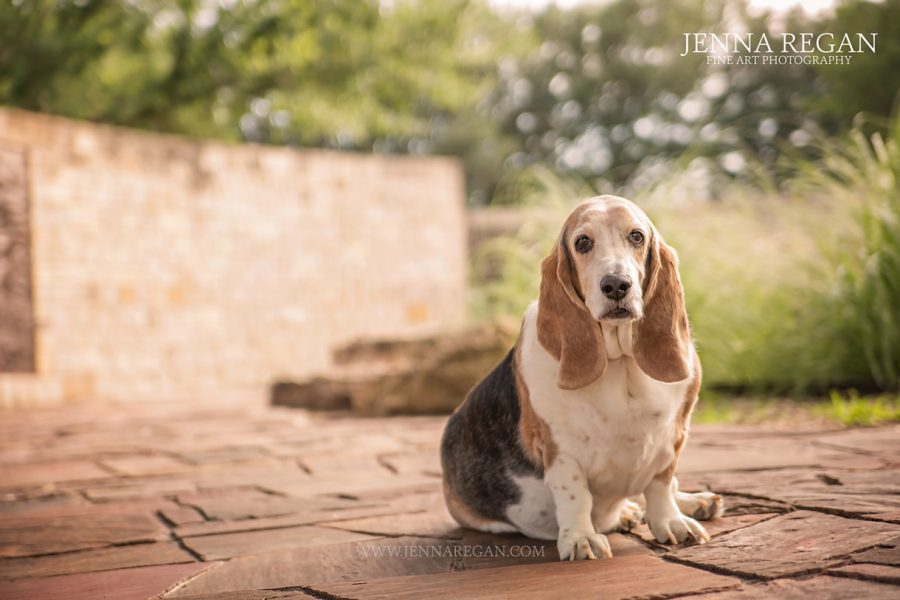 Daisy | Miss January | Lewisville Dog Photography | Basset Hound Rescue Calendar Project
