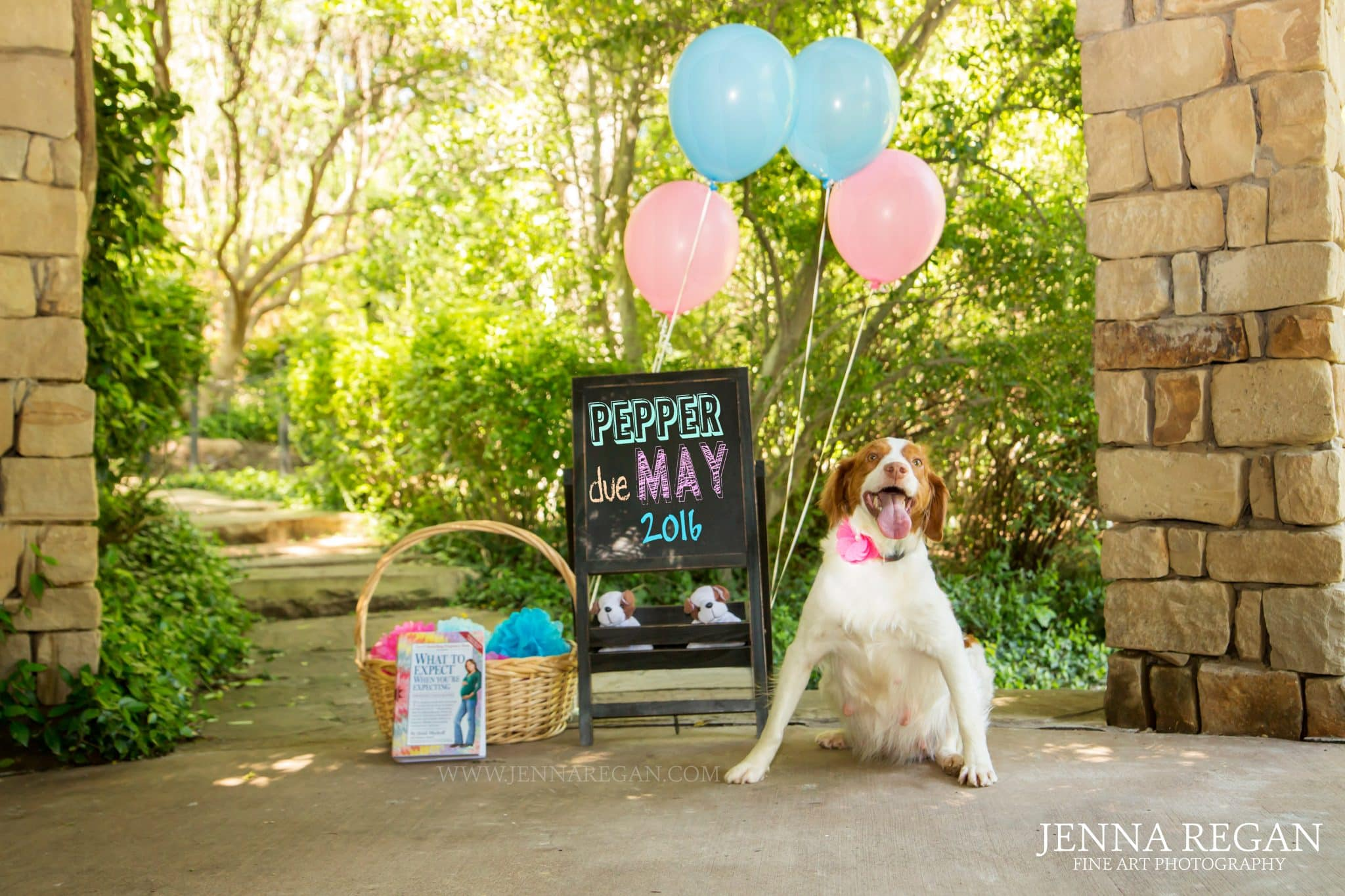 brittany dog maternity photo shoot arlington texas jenna regan photographer