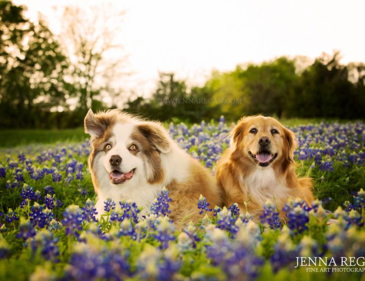 Dogs Photos in the Wildflowers: Something I Love About Spring and Summer in Dallas-Fort Worth