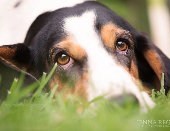 Scarlet | Miss April | Fort Worth Dog Photography | Basset Hound Rescue Calendar Project