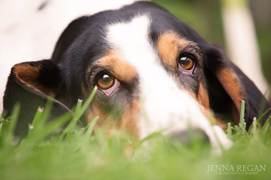 Scarlet | Miss April | Fort Worth Dog Photography | Basset Hound Rescue Calendar Project