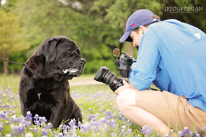 english mastiff in wildflowers bluebonnet photo shoot in carrollton