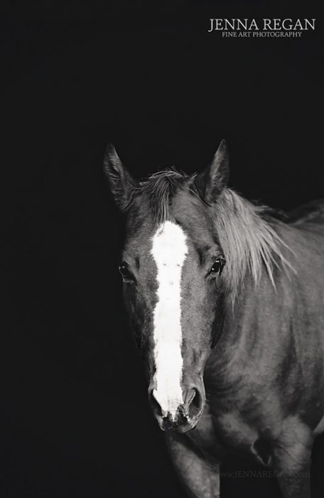 dallas equine photography of a sorrel horse on black background