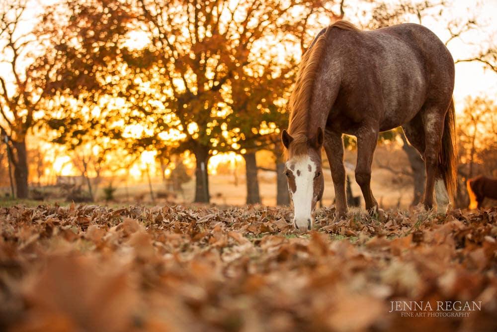 american quarter horse gelding grazes during photo session in fall orange leaves