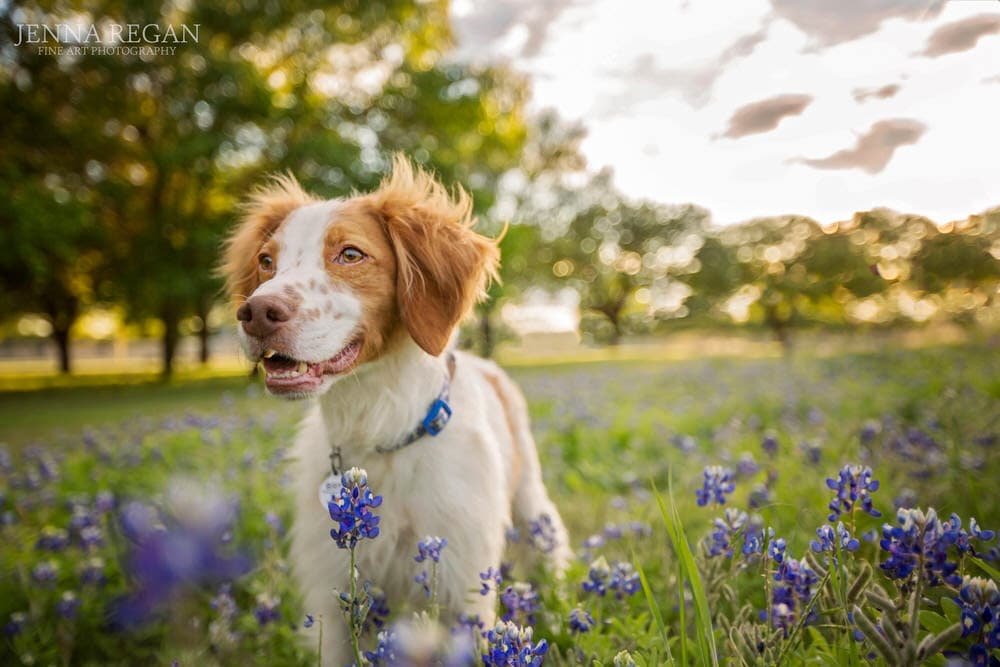 brittany spaniel dog models in bluebonnet wildflowers in dallas for wfaa news story