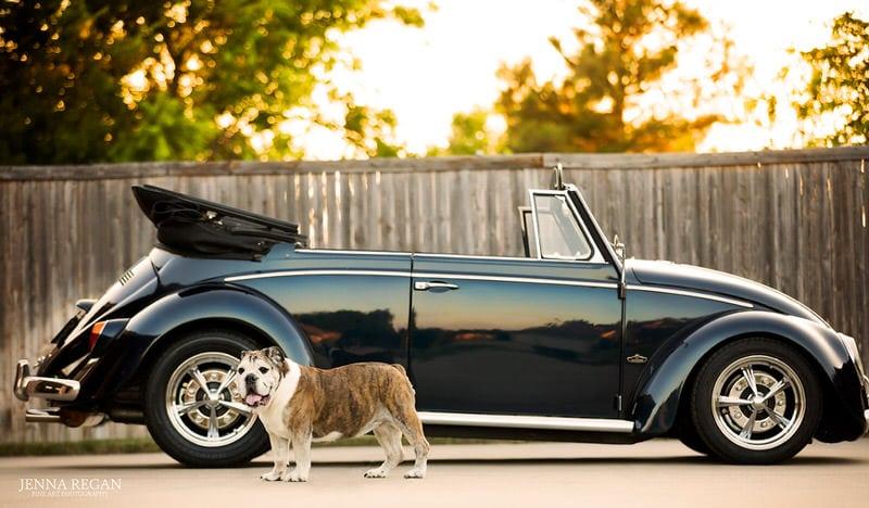 bulldog with classic volkswagon beetle car- jenna regan photography- dog portraits
