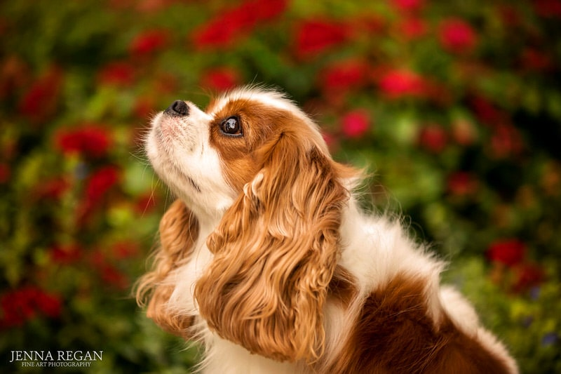 cavalier king charles spaniel profile view in front of red roses- photographed in highland park by professional dog photographer jenna regan photography
