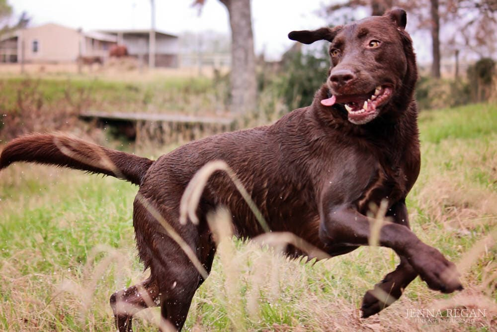 chocolate lab dog running through field during photography session
