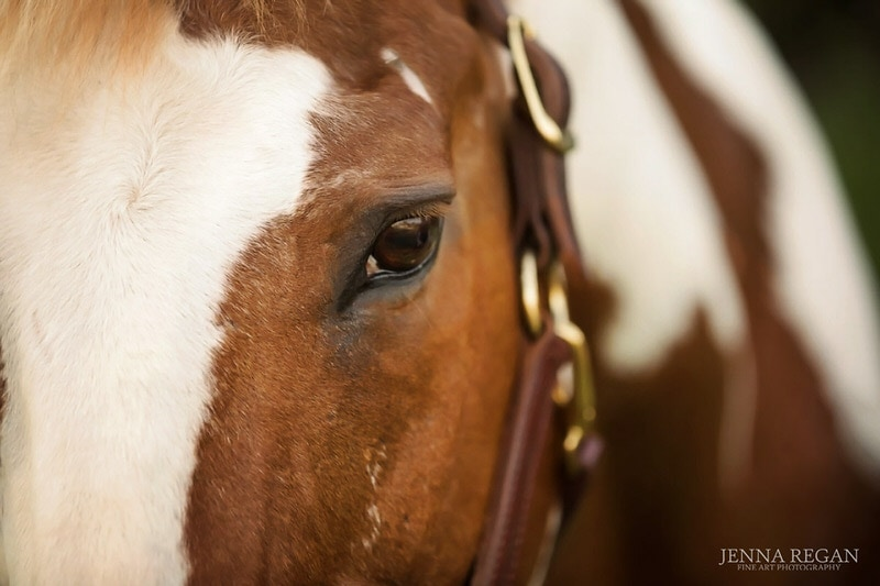 close up of paint horse photographed at stable in dallas texas