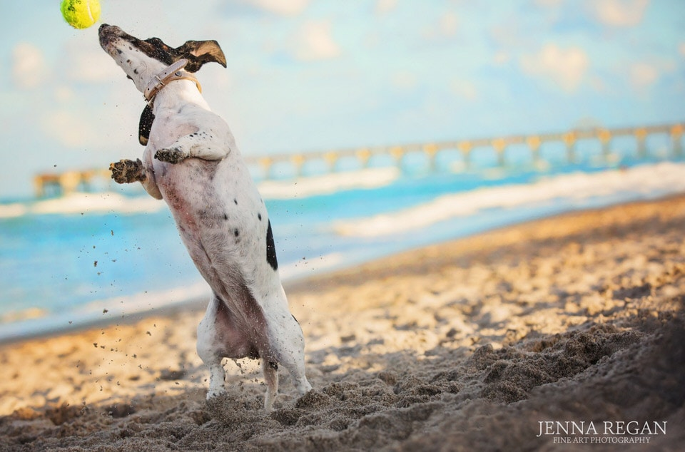 piebald dachshund jumping for tennis ball on beach in florida