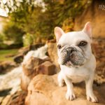 french bulldog photographed by waterfall- frisco pet photographer
