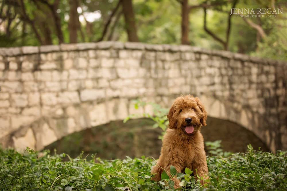 golden doodle posing for photo shoot in highland park