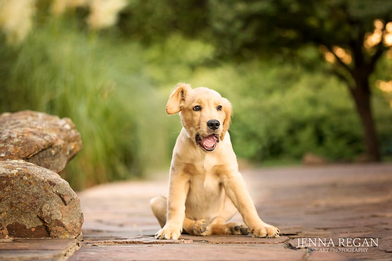 golden retriever puppy being cute during photo session in frisco texas with professional pet photographer