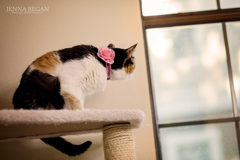 indoor cat photo shoot calico staring out window dallsa texas