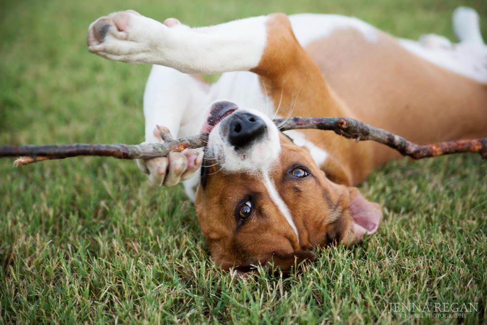 mixed breed dog plays with stick laying upside down on grass
