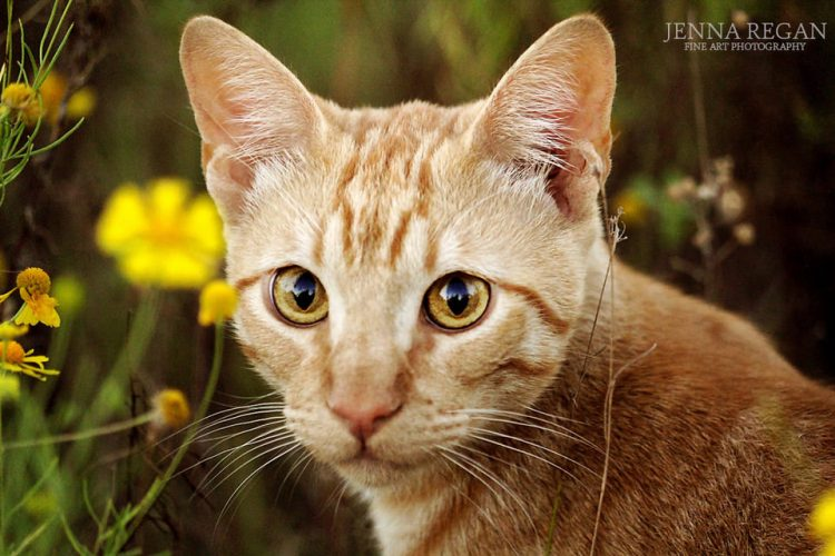 orange cat in wildflowers outdoors for photo shoot
