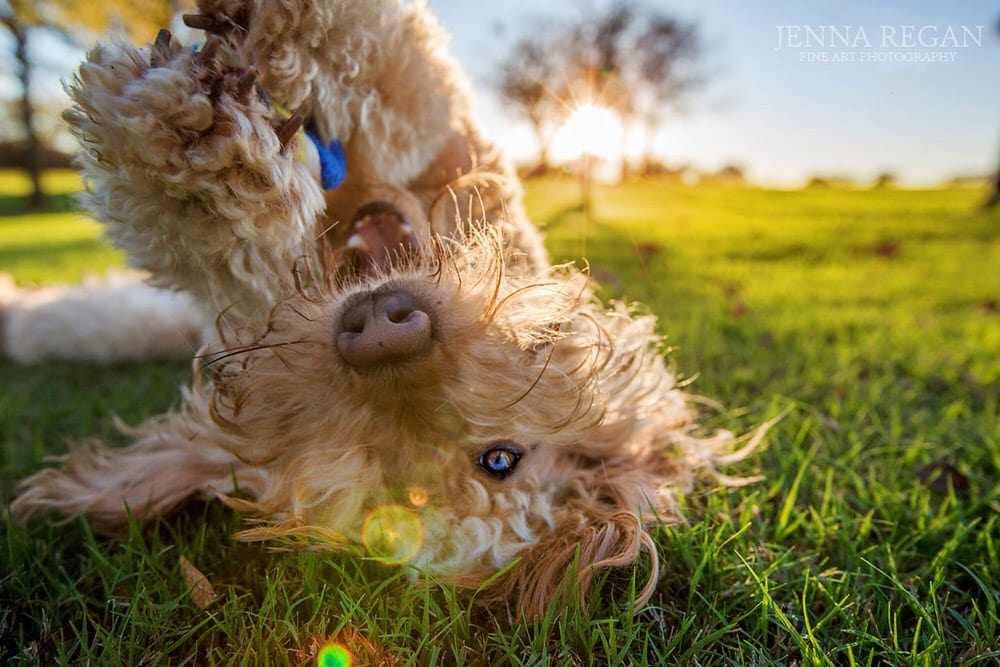 upside down golden doodle at sunset photographed in dallas texas by pet photographer jenna regan